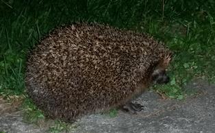 ježek tovačovský